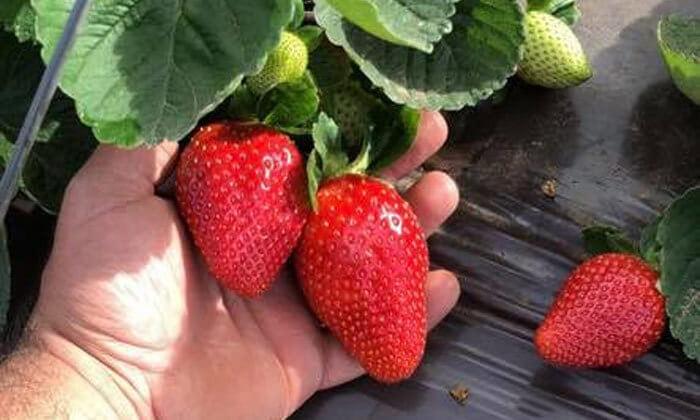 3 קטיף תותים 'תות בשדה - משק אריאל' במושב קדימה