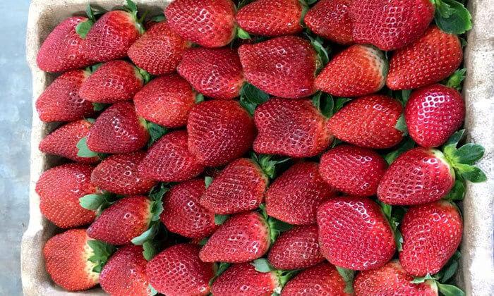 4 קטיף תותים 'תות בשדה - משק אריאל' במושב קדימה