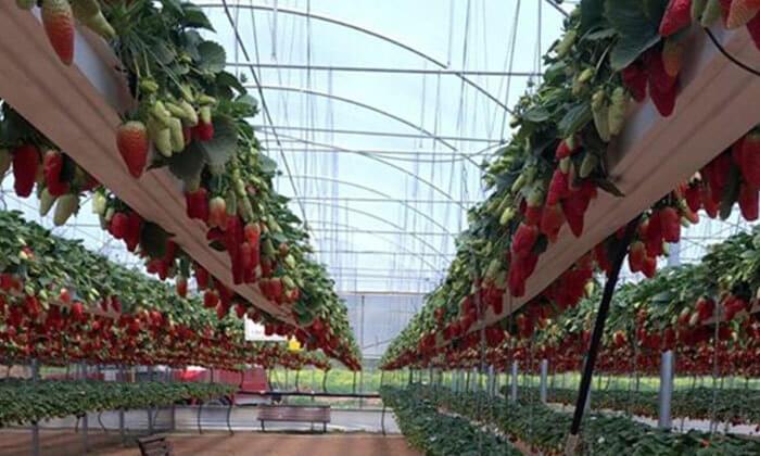 2 קטיף תותים, סיור בטרקטור ופינת חי במשק בגבעה
