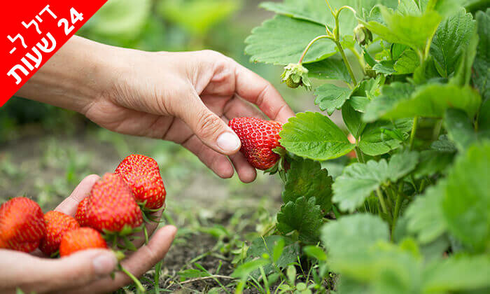 3 דיל ל-24 שעות: קטיף תותים ב'תות בשדה - משק אריאל', קדימה