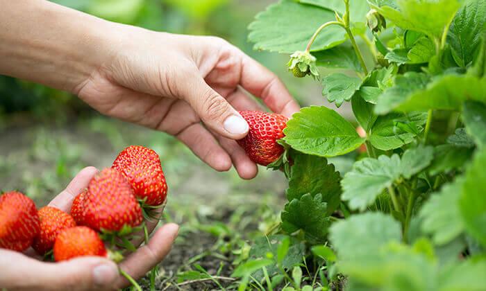 5 לזמן מוגבל: קטיף תותים בתותלאנד, משק טל הוד השרון - גם ביום העצמאות