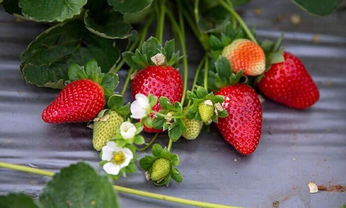 6 לזמן מוגבל: קטיף תותים בתותלאנד, משק טל הוד השרון - גם ביום העצמאות