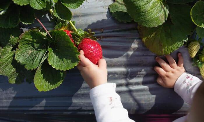 3 לזמן מוגבל: קטיף תותים בתותלאנד, משק טל הוד השרון - גם ביום העצמאות