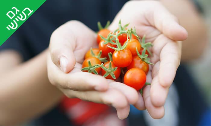 4 קטיף עגבניות שרי במשק אקלר, קדימה