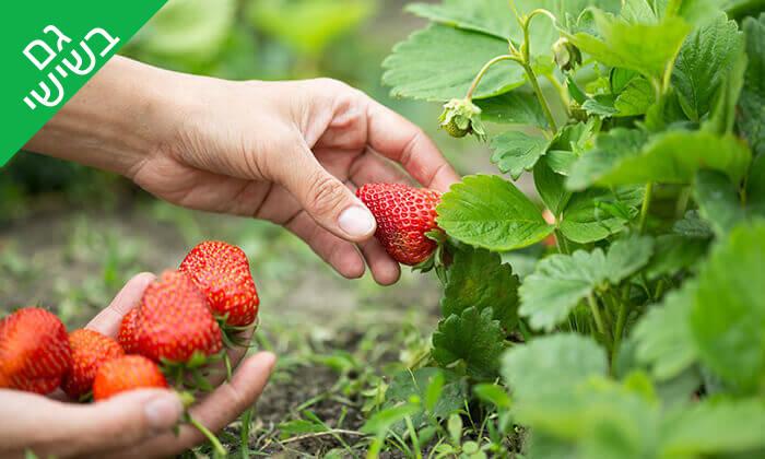 2 קטיף תותים ב'תות בשדה - משק אריאל', קדימה