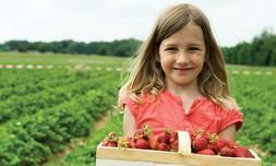 קטיף וטעימות תותים בתותלאנד