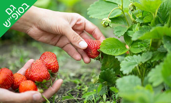 6 קטיף תותים בתותלאנד - משק טל, הוד השרון