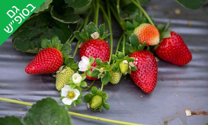 3 קטיף תותים בתותלאנד - משק טל, הוד השרון