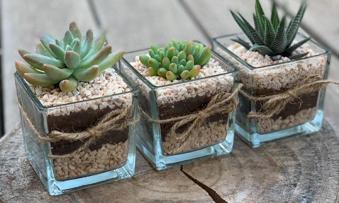 2 צמח קקטוס בכלי מעוצב באיסוף עצמי או במשלוח מ-CACTUS Ys