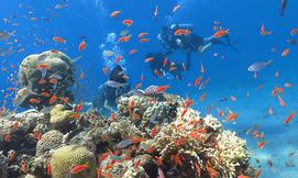 צלילה בחוף האלמוגים